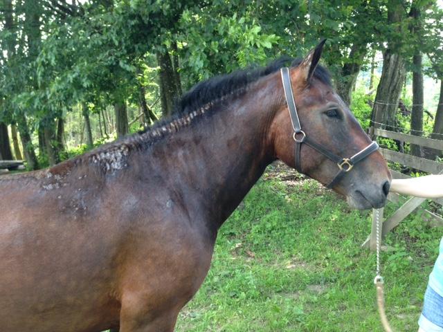 Eitrige Stellen beim Mähnenkamm - Pferd - ClaudiaTrummer