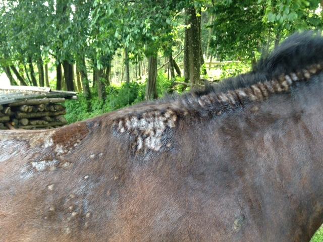 Pferd offene Stellen mit ätherischen Ölen behandelt - Claudia Trummer